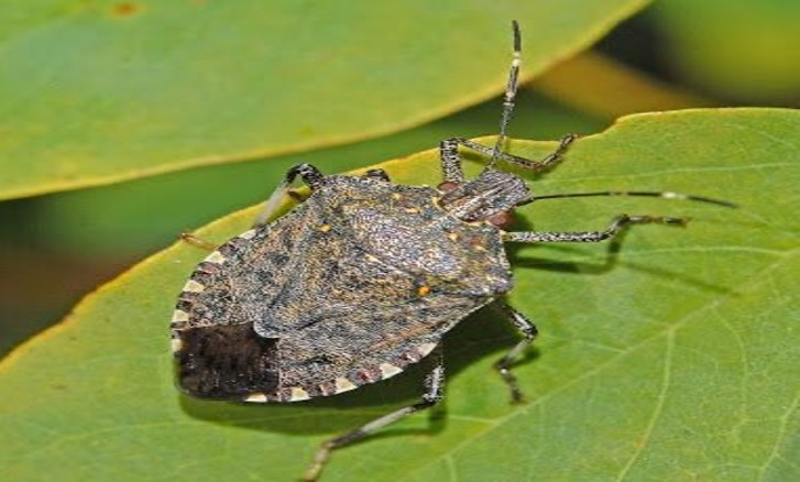 Biosecurity of the Brown Marmorized Stink Bug